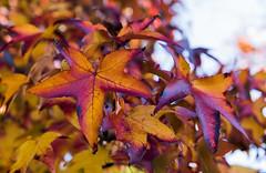 Autumn-decay_DSC8599 (Mel Gray) Tags: wollombi autumn fall fallcolours autumnleaves autumncolours hunterregion huntervalley australia newsouthwales