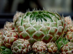 Orostachys spinosa (L.) Sweet