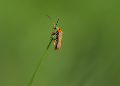 hang on in there! (Emma Varley) Tags: soldierbeetle insect spring may westsussex grass tip balance sway