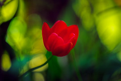 Flower of Mine (Stefan (back from Scotland, but need some time)) Tags: tulip bokeh flower blume dof dephtoffield depthoffield blur blurry color colour colorpop red green saturated sonya7m2 sonya7ii sigma sigmaart13518 135mm f18