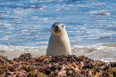 Australian Sea Lion - Hello D50_6267.jpg (Mobile Lynn) Tags: marinemammals wild australiansealion nature fauna mammal mammals neophocacinerea sealion wildlife sealbay southaustralia australia au