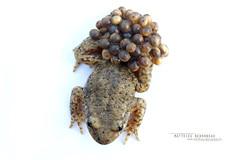 Common Midwife Toad, Alytes obstetricans (Matthieu Berroneau) Tags: sony alpha macro nature france herpéto ff 24x36 full frame a7ii 7ii 7mk2 sonyilce7m2 90 28 herping herpeto trip amphibia amphibian amphibien tailed amphibians field herp varliagyviai anoura anoure toad alyte accoucheur anura taillless anuro common midwife alytes obstetricans sapo partero común tailless pyrénées pyrenees txantxiku arrunta commonmidwifetoad alytesobstetricans alyteaccoucheur alytesobstetricansobstetricans sonya7ii sonya7mk2 sonyalpha7mark2 sonyalpha7ii white fondblanc blanc highkey whitebackground high key fond fe f28 g oss fe90f28macrogoss sonyfesonyfe2890macrogoss objectifsony90mmf28macrofe sel90m28g textbook fondo blanco fondoblanco