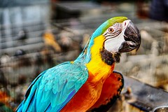 Colourful Macaw (vn.baghavan) Tags: ifttt 500px yellow red portrait color bird travel blue bokeh gold parrot animal colors fauna 50mm pet feathers colorful colours hong kong vibrant colourful macaw mong kok park psittacines street sony a6000