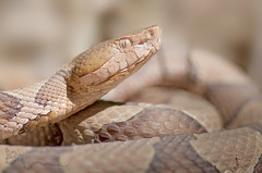 Copperhead (cre8foru2009) Tags: agkistrodoncontortrix pitviper copperhead snake herping nature wildlife reptile venomous macro tokina