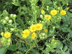 Campnor Daisy (M.P.N.texan) Tags: flower flowers flowering bloom blooms bkooming wildflower texas corpuschristi padreisland yellow camphordaisy