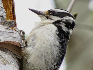 Pic chevelu / Hairy Woodpecker / Picoides villosus