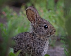 Lil Rabbit (Beth Sargent) Tags: rabbit animal wildlife nature explore droh dailyrayofhope