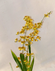 Oncidium sphacelatum species orchid, 1st bloom  4-17* (nolehace) Tags: spring nolehace flower bloom plant fz1000 417 oncidium sphacelatum species orchid 1st sanfrancisco