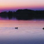 Drei Enten in Lila thumbnail