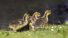 Goslings (Paula Darwinkel) Tags: goslings ducklings goose geese birds nature wildlife cute animals