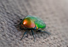 A Flower chafer (shaulfiron) Tags: bug flowerchafer macro green