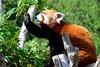Red Panda at lunch (mogul) Tags: panda red redpanda nikon d7000 nikon18105 capturenx2 nature barben zoo provence