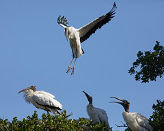 Landing Series (dcstep) Tags: n7a2819dxo nest chicks bif birdinflight flying flight wing wings stork woodstork largebird canon5dmkiv ef100400mmf4556lisii allrightsreserved copyright2017davidcstephens dxoopticspro114 staugustine fl florida usa staugustinealligatorfarm rookery pixelpeeper handheld ecoregistrationcase15586202651