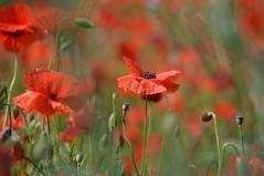 Coquelicots (Melvin. A) Tags: coquelicots fleur fleurs flower blume vert rouge nature exterieur flou macro