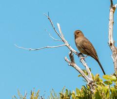 California Towhee (phoca2004) Tags: acr auduboncanyonranch bird california californiatowhee d90 melozonecrissalis modinimayacamaspreserve nikon sonomacounty geyserville unitedstates us