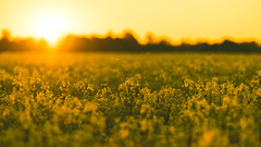 Rapesody (2017 Version) (Stefan (back from Scotland, but need some time)) Tags: rape raps field fieldofrape yellow sunset backlight backlit flowers dof dephtoffield depthoffield shallowdepthoffield insect gegenlicht sundown sonnenuntergang sonnenlicht sigma sigmaart13518 sigmamc11 135mm f18 sonya7m2 sonya7ii