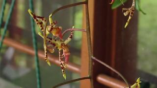 Vidéo de Gongora fulva floreciendo en casa con un posible polinizador, una abeja Euglossa sp. , Valle del Cauca, Colombia