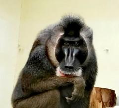 Philosopher (ottra) Tags: drill menschenaffe philosoph thinker denker penseur menschlich tierisch wilhelmina stuttgart