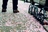 Cherry Blossom Street (LeanneRichelle) Tags: cherryblossom cherry blossom philly phillyblossom phillyflowers phillybloom phillytrees prettytrees philadelphiaflowers phillystreets fairmount fairmountphilly fairmountphiladelphia prettystreets cherryblossompetals petals flowerpetals flower flowers cherrypetals blossompetals fallenpetals fallenleaves pink pinkstreets prettypetals fairmountstreets streetsoffairmount