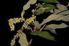 Mallotus philippensis (andreas lambrianides) Tags: mallotusphilippensis redkamala orangekamala euphorbiaceae mallotus arfp nswrfp qrfp subtropicalarf littoralarf dryarf monsoonarf lowlandarf uplandarf ntrfp cyrfp kamala kamalatree australianflora australiannativeplant australianrainforests australianrainforestplants australianrainforesttrees australianrainforestflowers arfflowers australiannativeflowers