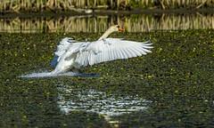 Swan, Cygnus olor 2 (Bojan Žavcer) Tags: canoneos7dmarkii ef600mmf4lisusm swan cygnusolor labod animal wildlife greatphotographers sweetfreedom