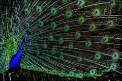 vibrant peacock (Pejasar) Tags: mission guatemala college 2015 vibrant peacock art artistic zoo aurorazoo guatemalacity classfieldtrip escyelaintergrada
