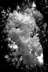 Rhododendron - HMBT (Jo Evans1 - Off and on for a while) Tags: rhododendron bokeh black white clyne gardens swansea