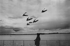 . (ferand) Tags: toronto streetphotography lakeontario hp5 ilford asa800 blackwhite bw birds