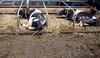pawu037 (Otwarte Klatki) Tags: krowa krowy mleko zwierzęta cielak ferma andrzej skowron