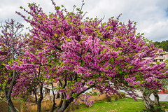 Judasbaum (Cercis siliquastrum) (alschim) Tags: andratx balearicislands balearischeinseln baum cercissiliquastrum esspanien esp europa europe gehoelz gewöhnlicherjudasbaum illesbalears islasbaleares judasbaum mallorca pflanze spain spanien country environment grove judastree location place plant tree wwwalschimcom wwwalschimde exif:lens=olympusm1240mmf28 exif:aperture=ƒ32 geo:lat=39577089272727 camera:model=em10 exif:focallength=12mm exif:model=em10 exif:isospeed=200 camera:make=olympusimagingcorp geo:lon=24244136818183 exif:make=olympusimagingcorp