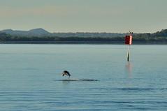 DSC_0046 (10) (RUMTIME) Tags: dolphin coochiemudlo coochie brisbane queensland redlands bay