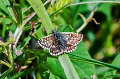 Grizzled Skipper (wightbern) Tags: sigma105mm d7000 nikon nikonnaturephotography closeup macro butterfly nature nationaltrust grizzledskipper