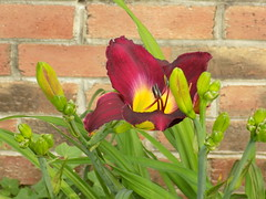 Maroon Day Lily.