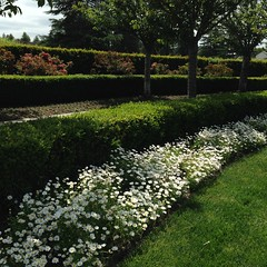 The Daisies. (melystu) Tags: landscaping daisies white flowers terraced trees mountainview cemetery spring border