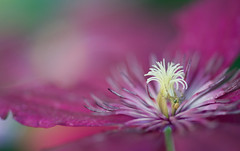 Waiting... (setoboonhong ( On and Off )) Tags: nature outdoor flower clematis spider insect close up depth field colours bokeh stamens petals pastel pink green yellow song richard marx i will be right here waiting for you ngc