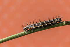 _MG_0072 (irukza) Tags: gusano insecto naturaleza oruga