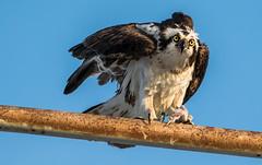 Osprey piercing look (miro_mtl) Tags: eating fish look osprey balbuzard pêcheur wildlife