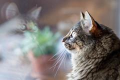 En attendant le soleil (SylvainMestre) Tags: basile portrait chat
