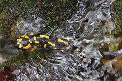 Feuersalamander (Aah-Yeah) Tags: feuersalamander firesalamander salamander salamandra caudata larven bach water achental chiemgau bayern