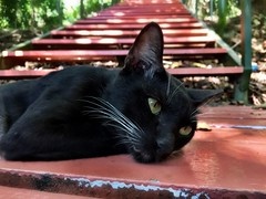 Signal Hill Cat (peggydaly) Tags: kota kinabalu borneo sabah malaysia rainforest jungle southeastasia malay pulau signalhill