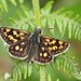 Chequered Skipper (explored) (Matt Scott Wildlife Photography) Tags: glasdrumwoodsnnr glasdrumwoods glasdrum butterflies scotland skippers chequeredskipper canon7dmark2 canon