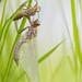 Emerald Dragonfly Ecdysis (www.naturfokussiert.de) Tags: dragonfly metamorphosis ecdysis cordulia imago macro