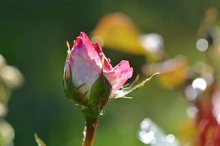 Hello rosebud