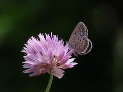 ヤマトシジミ (Polotaro) Tags: mzuikodigital45mmf18 butterfly insect bug nature olympus epm2 pen zuiko チョウ 蝶 虫 昆虫 自然 オリンパス ペン ズイコー flower 花 チャイブ ヤマトシジミ 5月 庭 garden