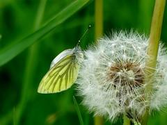 Rapsweißling***green-veined white***Pieris napi (BrigitteE1) Tags: rapsweisling greenveinedwhite pierisnapi schmetterling butterfly löwenzahn butterblume dandelion specanimal