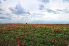A field of poppies (Xenofon Levadiotis) Tags: a field poppies meadow spring horizon thessaloniki halkidiki flower springtime cloud clouds hill country side green poppy tree lonely greece landscape ελλάδα τοπίο χωράφι κτήμα γη ορίζοντασ σύννεφα μακεδονία θεσσαλονίκη χαλκιδική θέα view παπαρούνα παπαρούνεσ δέντρο μοναχικό