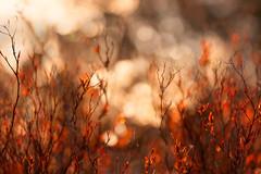 Meant to shine (Ans van de Sluis) Tags: ansvandesluis brakkenstein bokeh bokehlicious botanic botanical flora floral flower macro march nature sunset nederland