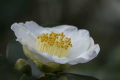 Camellia japonica (wietsej) Tags: camellia japonica arboretum hetleen eeklo belgium sony rx10 rx10m3 rx10iii 111 iii flower macro wietse jongsma