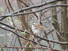 White-Throated Sparrow (amyboemig) Tags: bird marsh sandhillroad songbird whitethroated sparrow