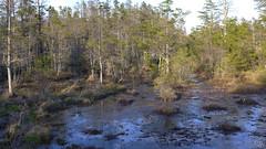 Webbs Mill Bog/Fen (Eric C. Reuter) Tags: bog plants flora carnivorous pitcherplant sundew nj webbsmill may 2017 051717